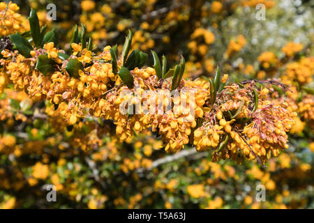 Berberis darwinii (Darwin's barberry) evergreen shrub closeup showing orange flowers and spine-toothed leaves in Spring (April) in West Sussex, UK. - Stock Image