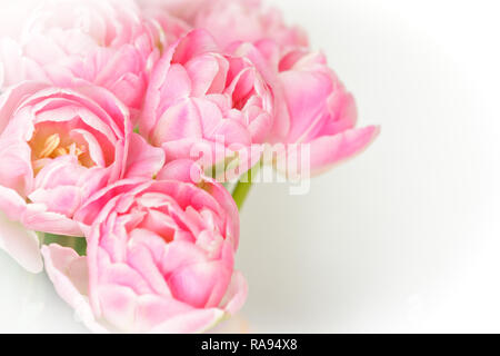 Bunch of tulip flowers in shades of pink against white, nostalgic and romantic background template for florists or greeting cards - Stock Image
