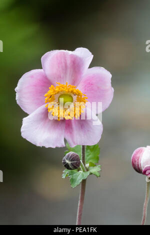 Late summer, single pink flower of the hardy perennial Japanese anemone, Anemone x hybrida 'September Charm' - Stock Image