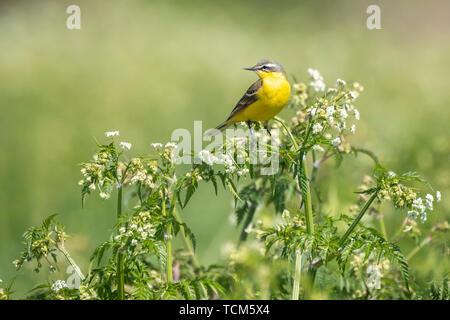 Closeup of a male western yellow wagtail bird (Motacilla flava) singing in wild masterwort Aegopodium podagraria on a sunny day during spring season. - Stock Image