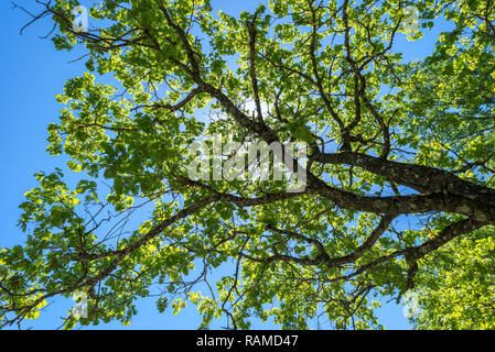 Leaves and branches of Pyrenean oak, Quercus pyrenaica. It is a tree native to southwestern Europe and northwestern Africa. - Stock Image