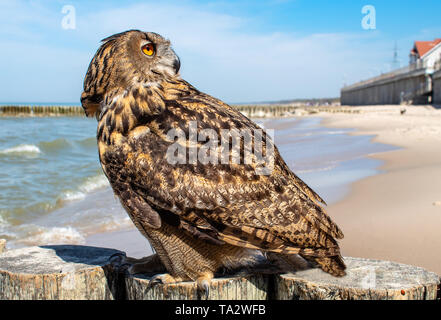 big brown owl sitting on the breakwater near the sea on sunny summer day closeup - Stock Image