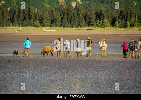Grizzly Bear Sow with two Spring Cubs, Ursus arctos, walking past apparently oblivious photographers, Cook Inlet, - Stock Image