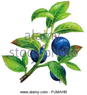 blueberry vaccinium myrtillus - Stock Image