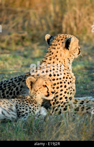 A cheetah cub snuggles against his mother at sunset on the Masai Mara. - Stock Image