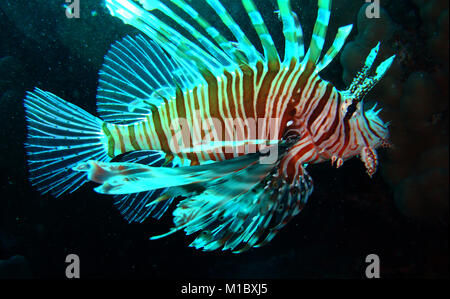 Devil firefish (Pterois miles) - Stock Image