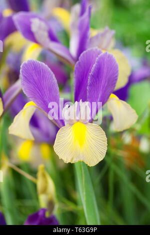 Iris x hollandica 'Gypsy Beauty' flowers. - Stock Image