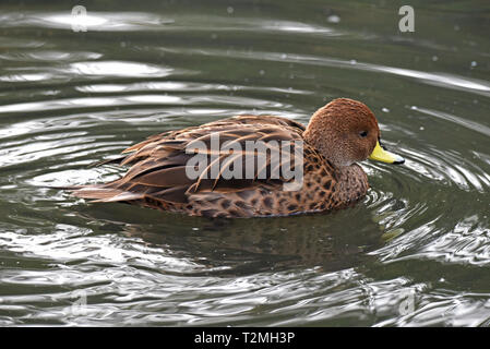 A South Georgia Pintail (Anas g georgica), a subspecies of the Yellow-billed Pintail, on a lake in South West England - Stock Image