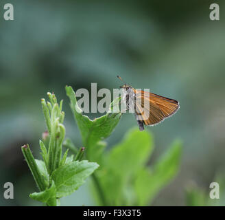 Large skipper At rest on leaf Hungary June 2015 - Stock Image