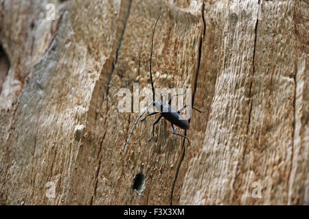 At rest on dead oak trunk Hungary June 2015 - Stock Image