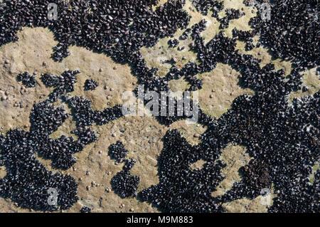 Mussels encrusted on a rock shelf at Adventure Bay, Bruny Island, Tasmania, Australia - Stock Image
