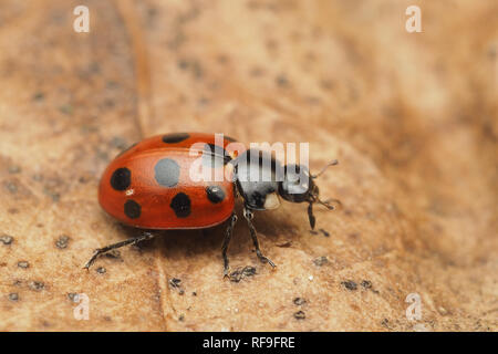 11-spot Ladybird (Coccinella 11-punctata) crawling along fallen leaf in January. Tipperary, Ireland - Stock Image