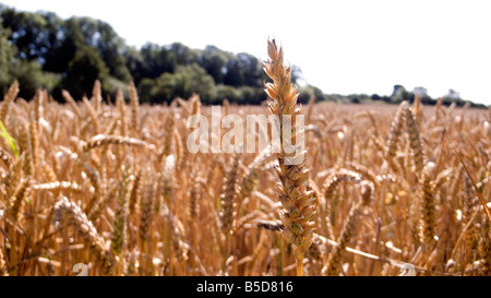 Ear of wheat or corn in a filed ready for harvest for either food or bio fuel blue sky - Stock Image