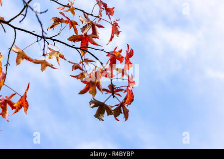 Leaves of the Sweet Gum or Liquidambar styraciflua against wispy clouds over a blue sky in autumn - Stock Image