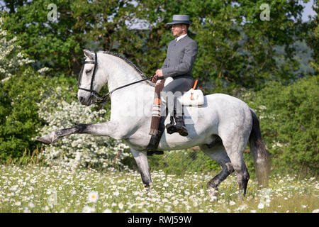 Pure Spanish Horse, Andalusian. Blind gelding performing a Spanish Walk with its rider and owner Sandro Huerzeler. Switzerland - Stock Image