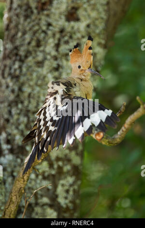 Hoopoe, Latin name Upupa epops, perched on a branch with crest raised and wing spread open while preening - Stock Image