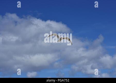 Herring Gulls at St Ives in Flight - Stock Image