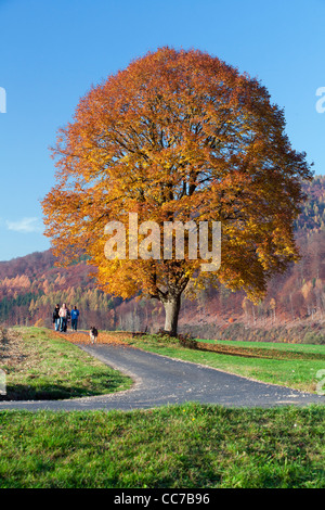 Common Lime Tree (Tilia europaea), in Autumn Colour, Three people with Dog Walking past, Hessen, Germany - Stock Image