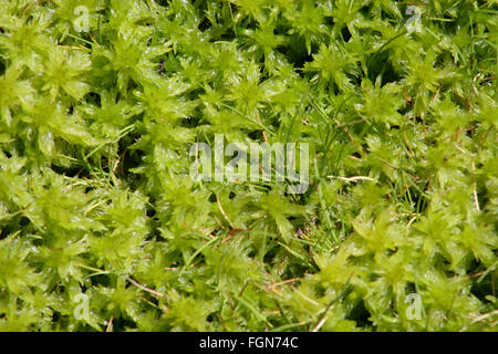 Close up of bright green moss along the Milford Track, New Zealand. - Stock Image
