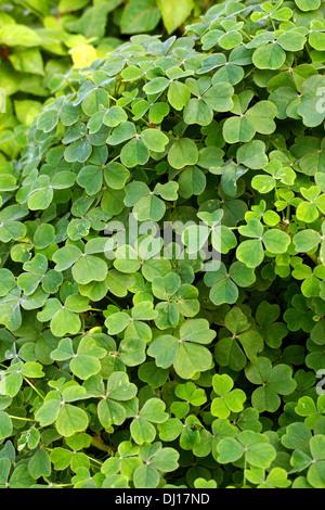 Oca or New Zealand Yam, Oxalis tuberosa, Oxalidaceae. Andean South America. - Stock Image