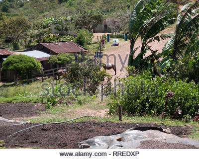 Coffee beans dry on tarps in front of background of coffee growing country in Jinotega Department, Nicaragua - Stock Image