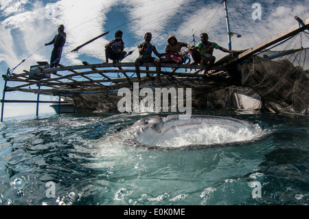 Local fishermen on bagan (fishing boat with platform and nets) with whale shark, Cenderawasih Bay, New Guinea (Rhincodon typus) - Stock Image