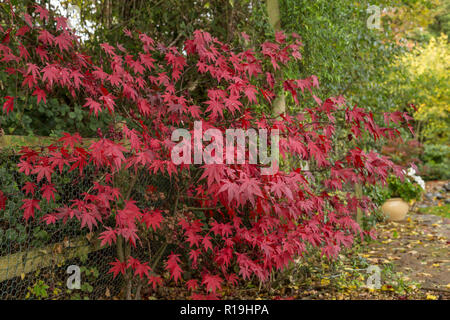 Acer Palmatum Bloodgood, a Japanese maple, in autumn in a Devon garden. - Stock Image