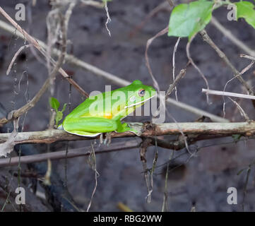 White-lipped Tree Frog (Litoria infrafrenata) perched on a twig in Daintree National Park, Wet Tropics, Far North Queensland, FNQ, QLD, Australia - Stock Image
