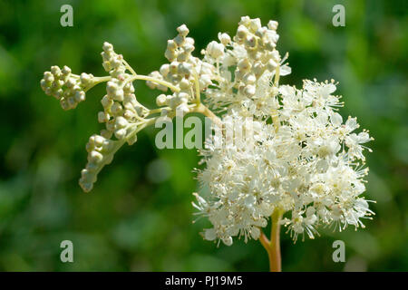 Meadowsweet (filipendula ulmaria), close up of a solitary flowering head. - Stock Image