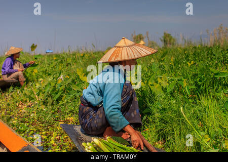 Harvesting in the floating vegetables gardens - Stock Image