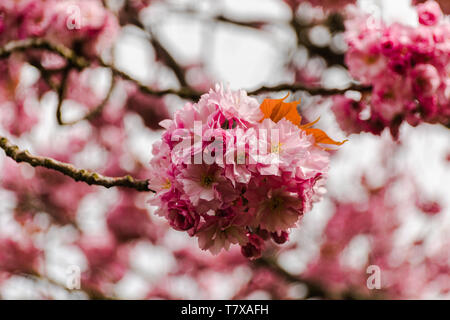 Close Up Of A Blossom Tree - Stock Image