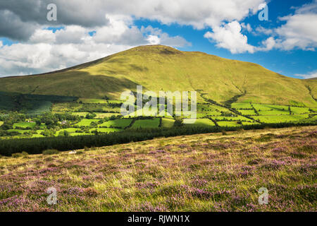A sunny August day with abundant blooming purple heather in the Galty Mountains (Galtee Mountains), County Tipperary, Ireland - Stock Image