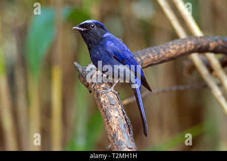 A male Large Niltava (Niltava grandis) on a branch in the forest in the hiils of Northern Thailand - Stock Image