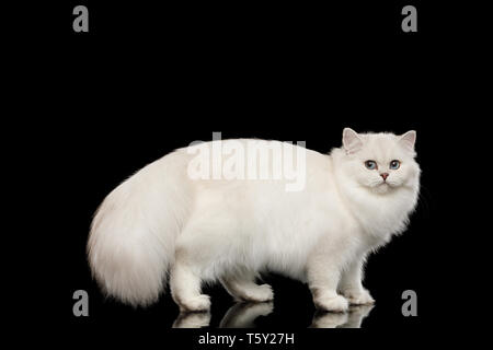 British White Cat with blue eyes standing with furry tail and turn back on Isolated Black Background, side view - Stock Image