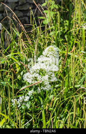 Centranthus rube commonly known as Red Valerian with white flowers against a green grassy background. White Valerian is a different species - Stock Image
