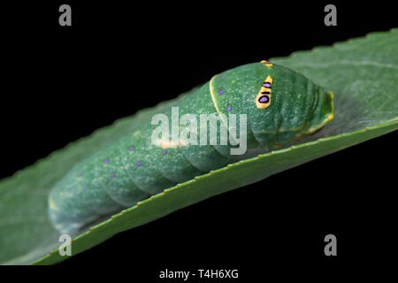 Tiger swallowtail (Papilio rutulus) caterpillar on a willow leaf, with false eye spots - on a black background - Stock Image