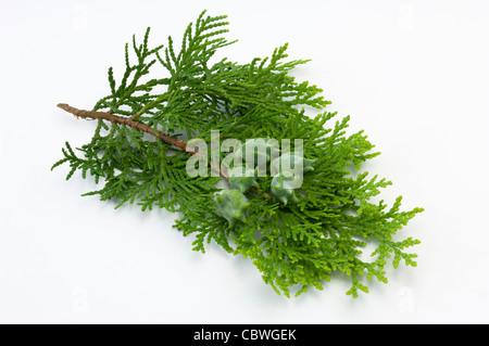 Chinese Arborvitae (Platycladus orientalis), twig with cones, studio picture. - Stock Image