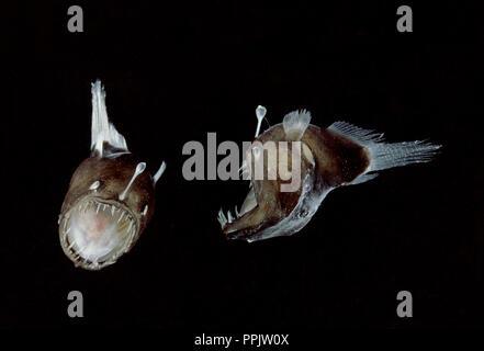 Humpback anglerfish Melanocetus johnsonii from deep sea is species of  black seadevil - Stock Image