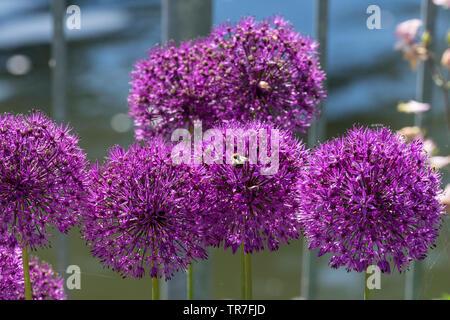 Allium purple sensation flowers with bee - Stock Image