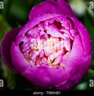 Pink and cream double peony opening in the rain - Stock Image