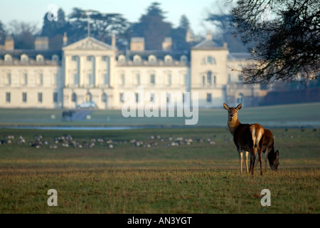 Deer in Woburn Safari Park  forest Centre Parcs Bedfordshire England UK. Picture taken from a public footpath. - Stock Image