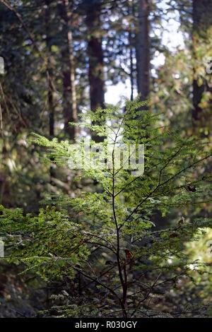 Western red cedar tree Thuja plicata sapling in Pacific Spirit Regional Park, Vancouver, BC, Canada - Stock Image
