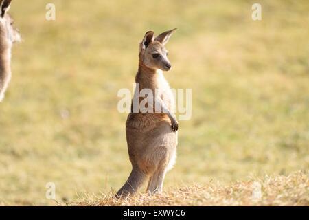 Eastern Grey Kangaroo, Macropus giantess, Bavaria, Germany, Europe - Stock Image