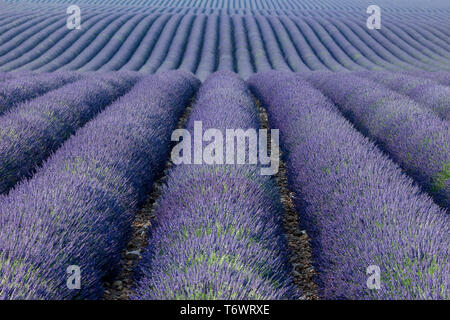 Endless rows of Lavnder along the Valensole Plateau, Provence, France - Stock Image
