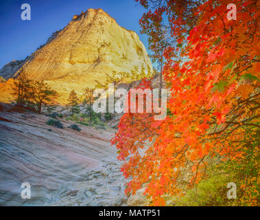 Bigtooth maple and Zion peak, Zion National Park, Utah Acer sp. - Stock Image