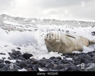 Low angle, close up view of an adult weddell seal lying on a beach of pebbles and snow, making eye contact with - Stock Image