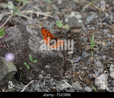 Spotted fritillary on rock Hungary June 2015 - Stock Image