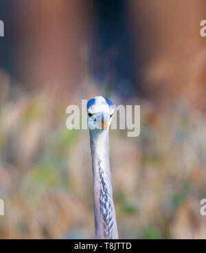 Great Blue Heron Portrait - Stock Image