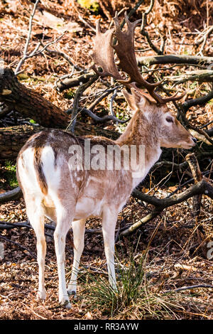 Fallow Deer stag standing at Knole Park, Kent, UK - Stock Image