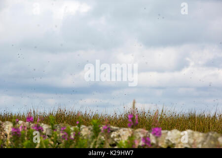 Clouds of Heather Fly (Bibio pomonae) hatching in large numbers on Longridge Fell, Lancashire, UK. - Stock Image